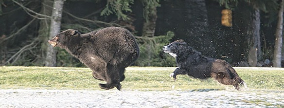 K.B. Dog chases bear