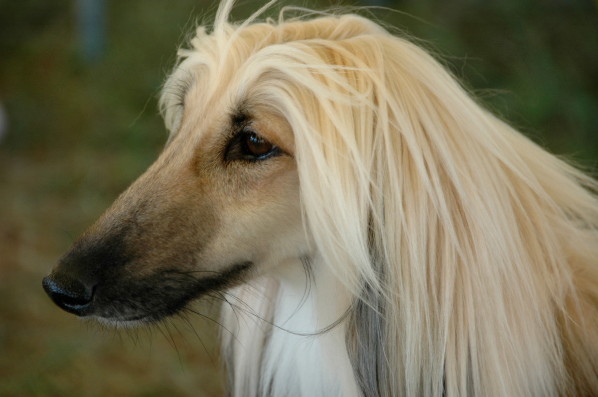 glamorous cream and black afghan hound