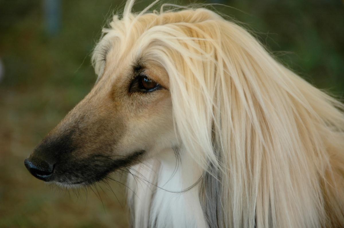 glamorous cream and black afghan hound