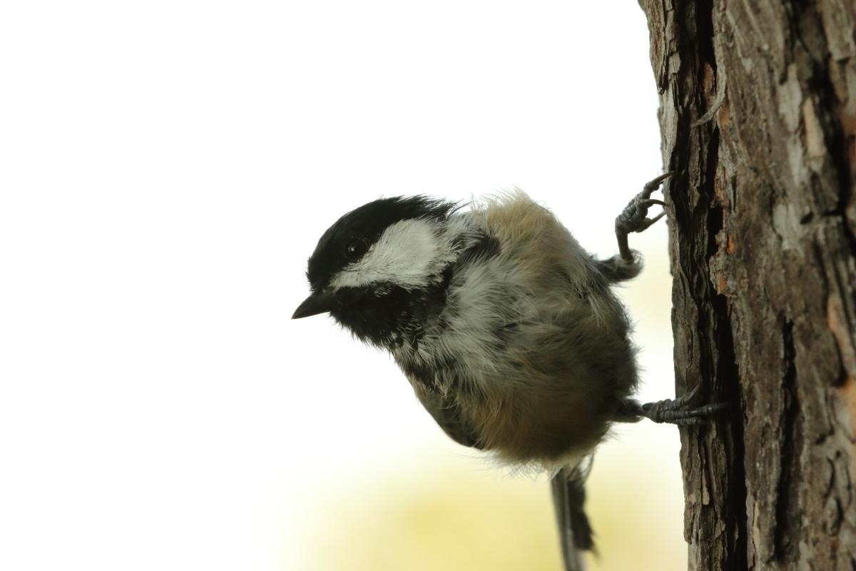 chickadee in treee