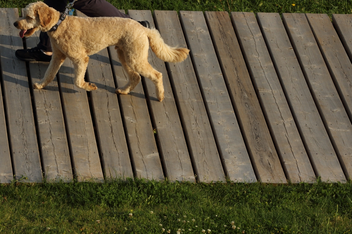 little dog in Temagami
