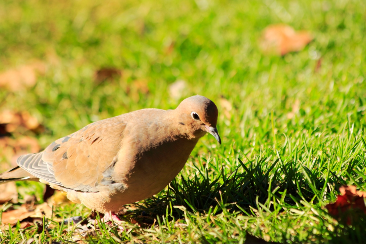 Mourning Dove.JPG