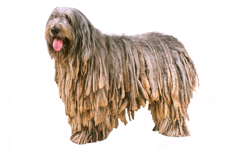 Bergamasco-on-White-00